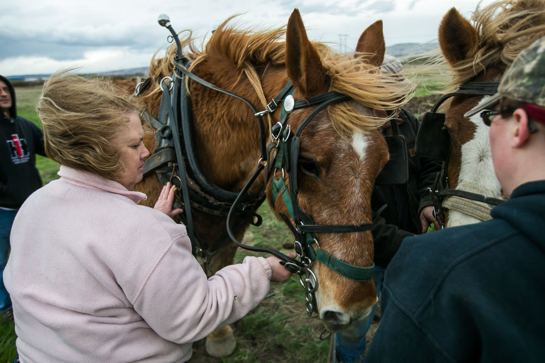 Gentle Giants Draft Horses More Than Pull Their Weight Local Yakimaherald Com