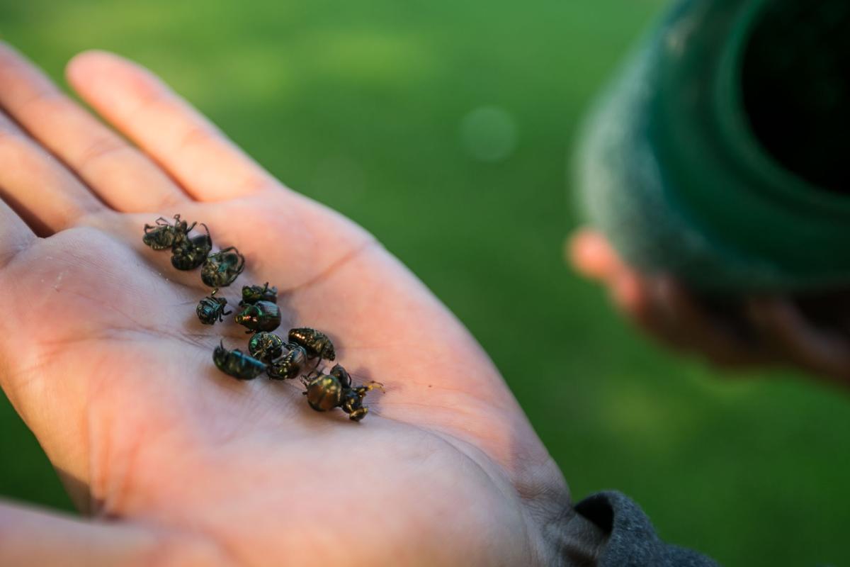 Handful of Japanese beetles