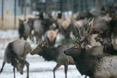 200123-yh-news-elk-feeding-7.jpg