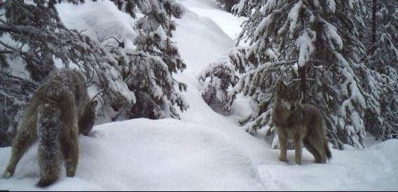Loup Loup wolf pack