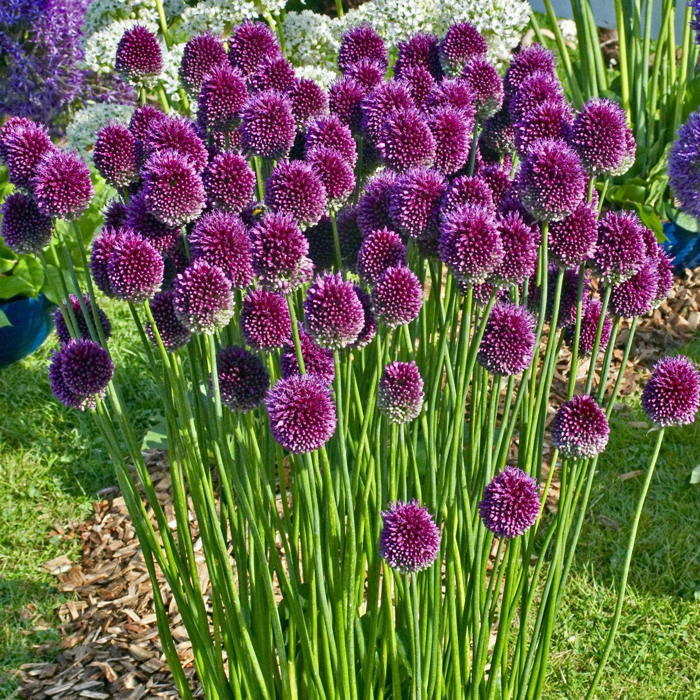 Barany In The Garden Bring Fireworks To Your Garden With Alliums
