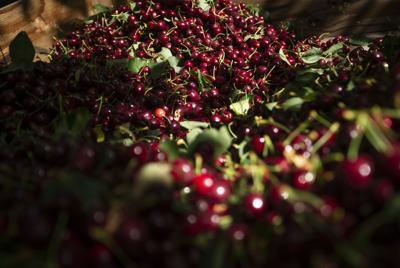 190616-yh-bl-cherryharvest-1.jpg