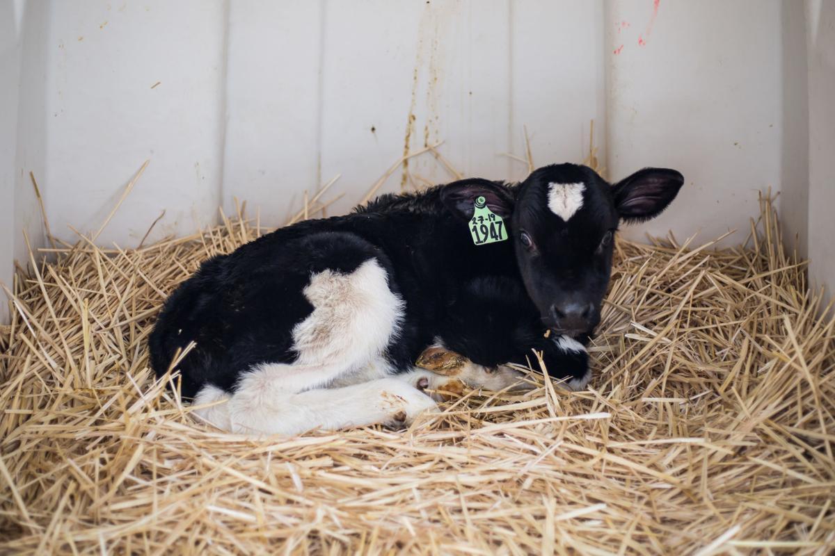 Cows-YH-021319-2.jpg