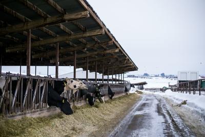 Cows-YH-021319-9.jpg
