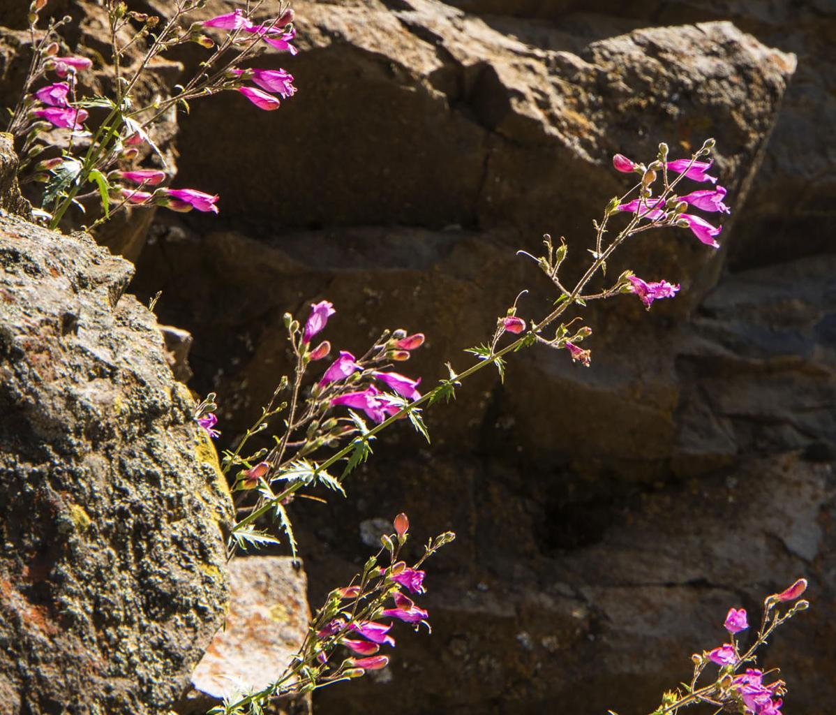 resized David Hagen_Richardson's Penstemon, Cowiche Canyon.jpg