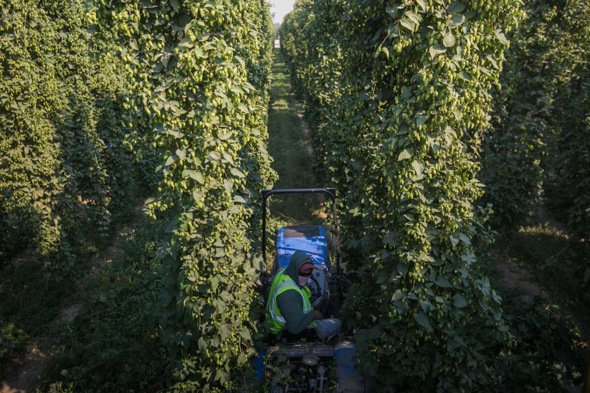 200903-yh-news-hopharvest-3.jpg