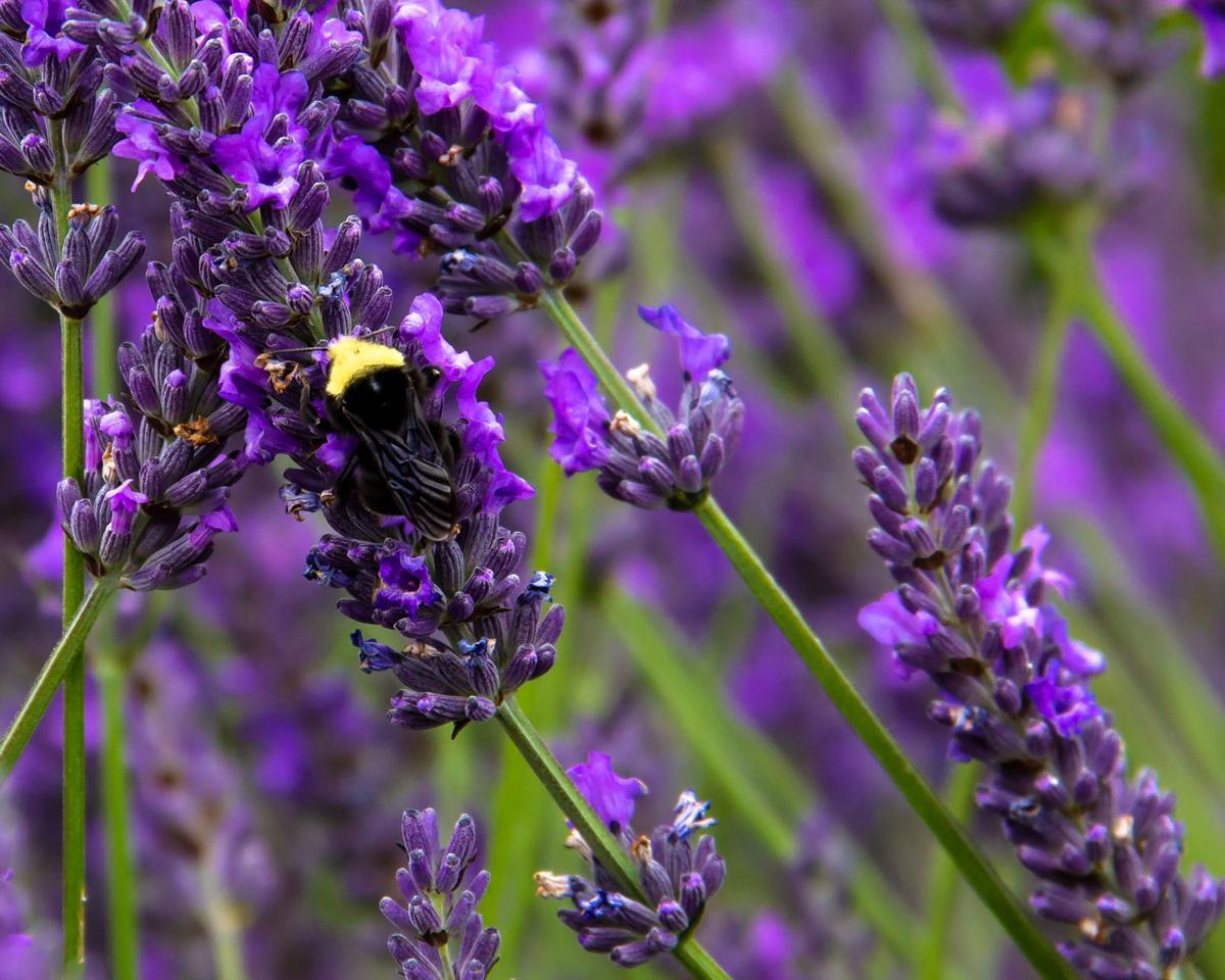 bumblebee lavender cerutti.jpg