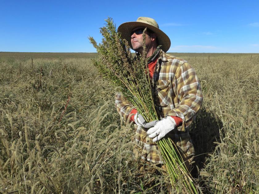 hemp cultivation in china