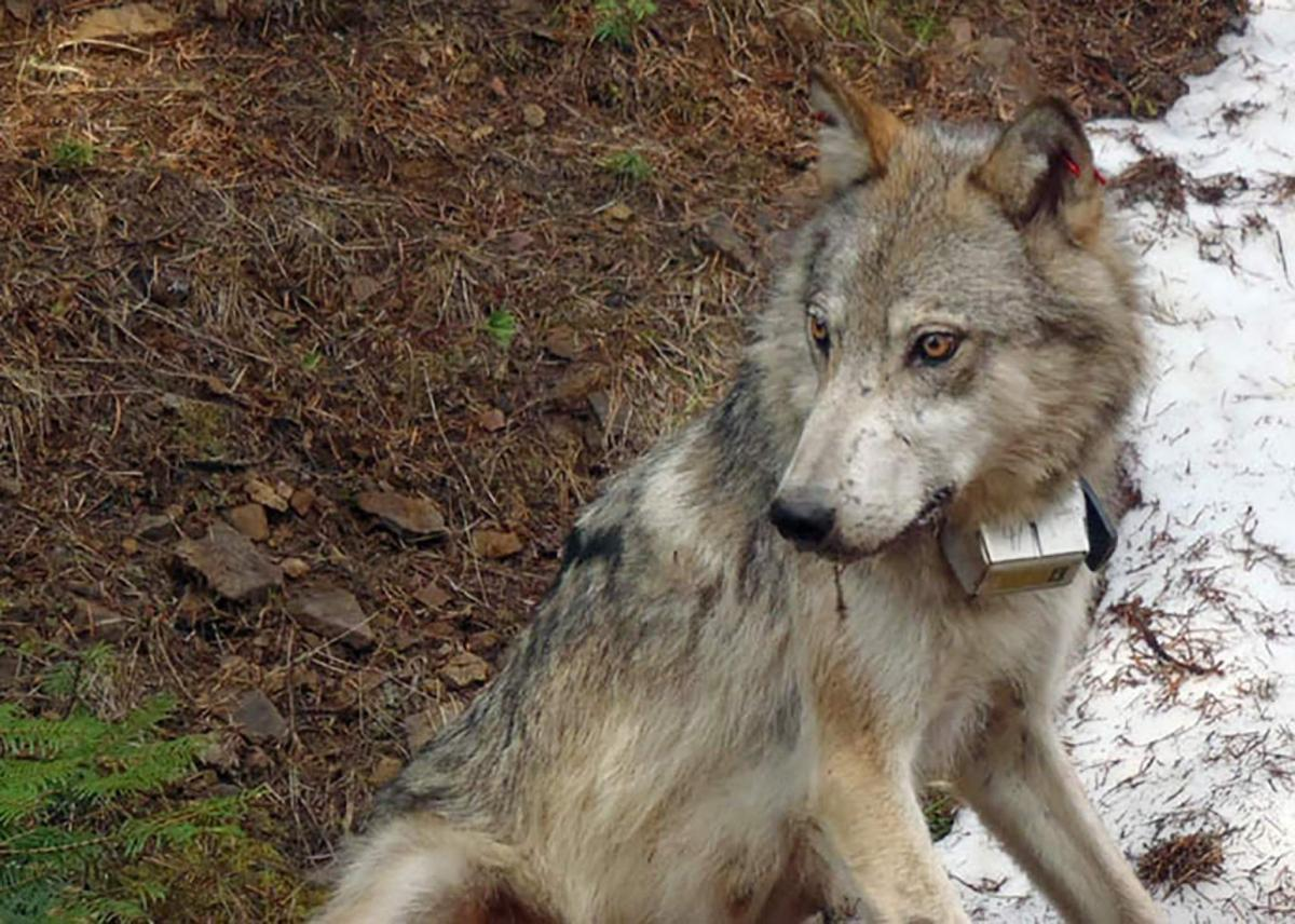 Wolf wa - Costom controler