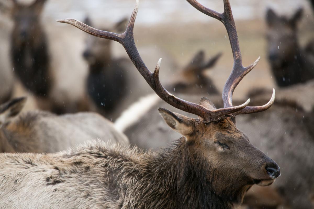 200123-yh-news-elk-feeding-1.jpg