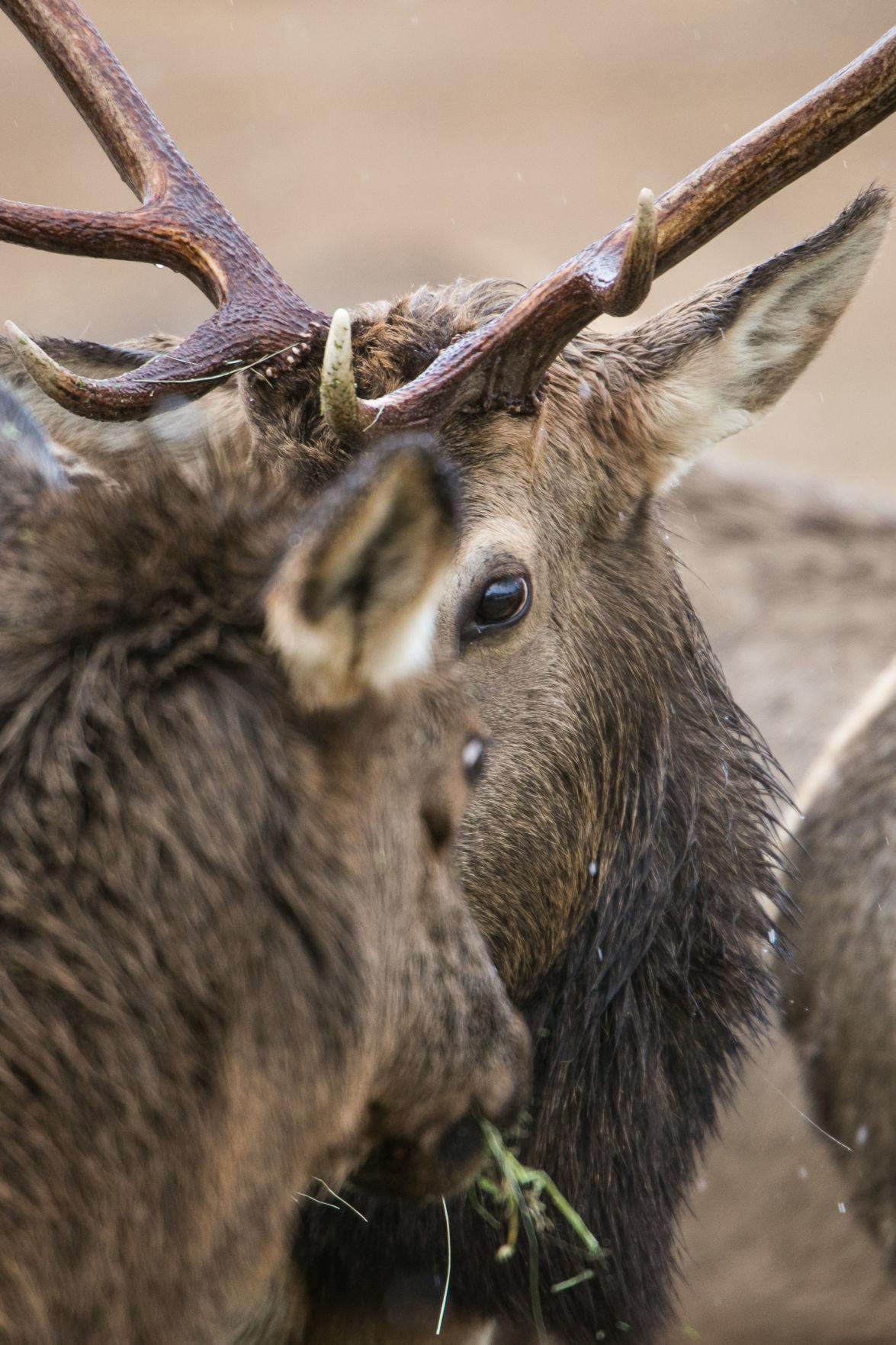 200123-yh-news-elk-feeding-2.jpg