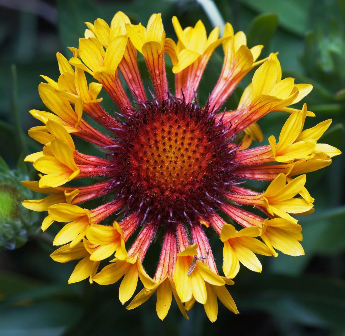 In The Garden Short Lived Perennials Beget Long Lived Irritation