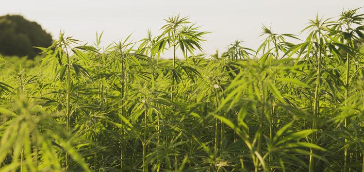 hemp industrial plantation