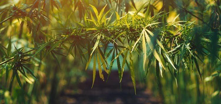 Growing organic hemp on plantation