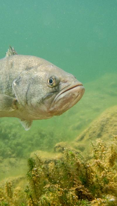 Clear water bass