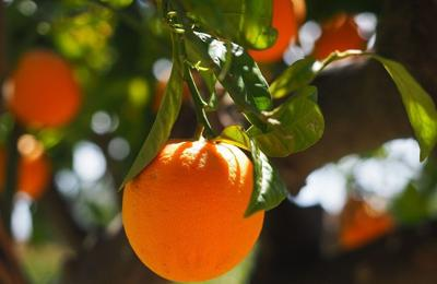 Can Florida citrus keep the momentum going?
