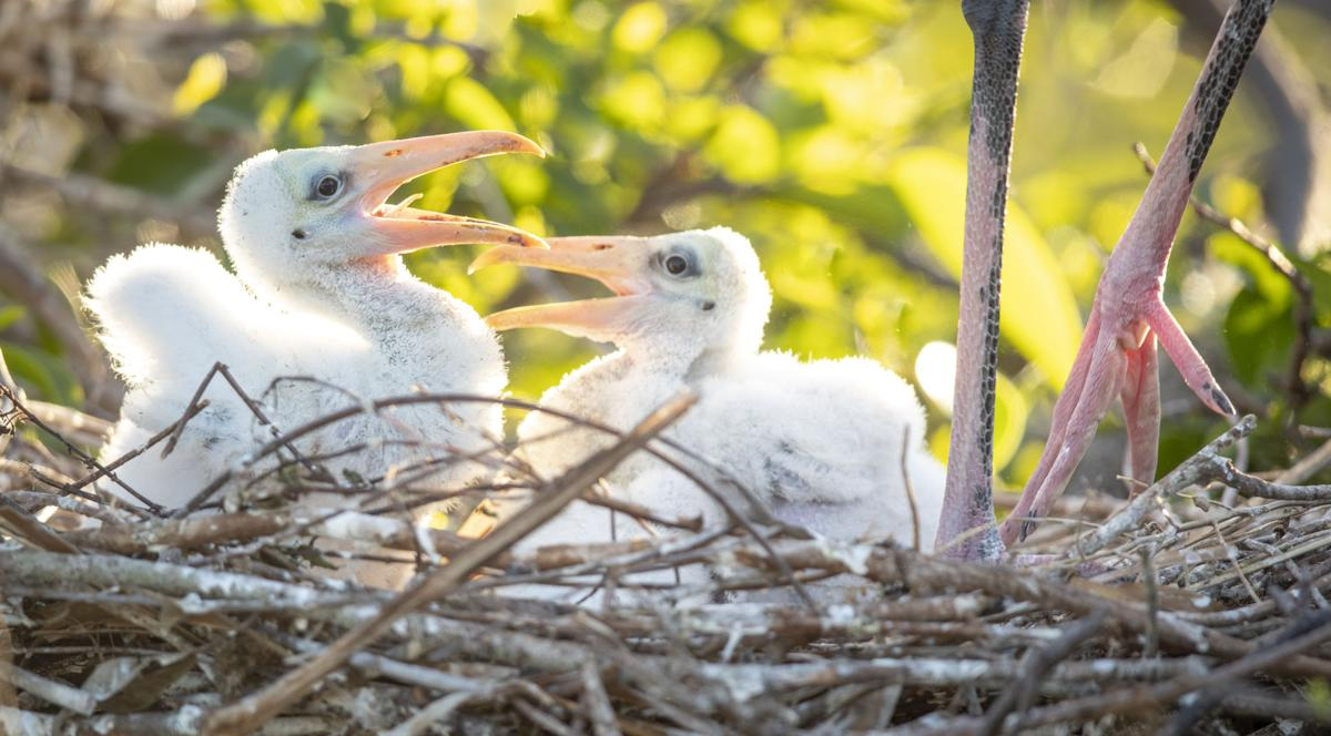 Woodstorks crying for food