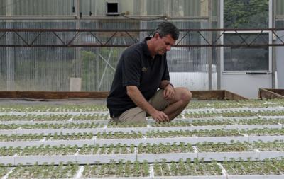 Hemp seedlings