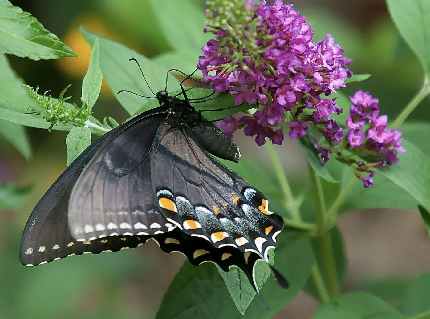 Eastern Tiger Swallowtail and Ruby Chip