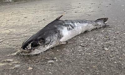 dead catfish