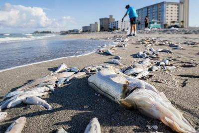 Nelly Flores Bags Fish That Died From Red Tide On A Venice Beach Week Ago No Swim Advisory Was Posted At Two Beaches In This