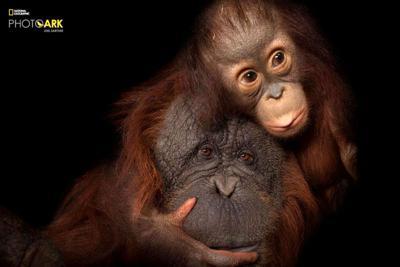 An endangered baby Bornean orangutan