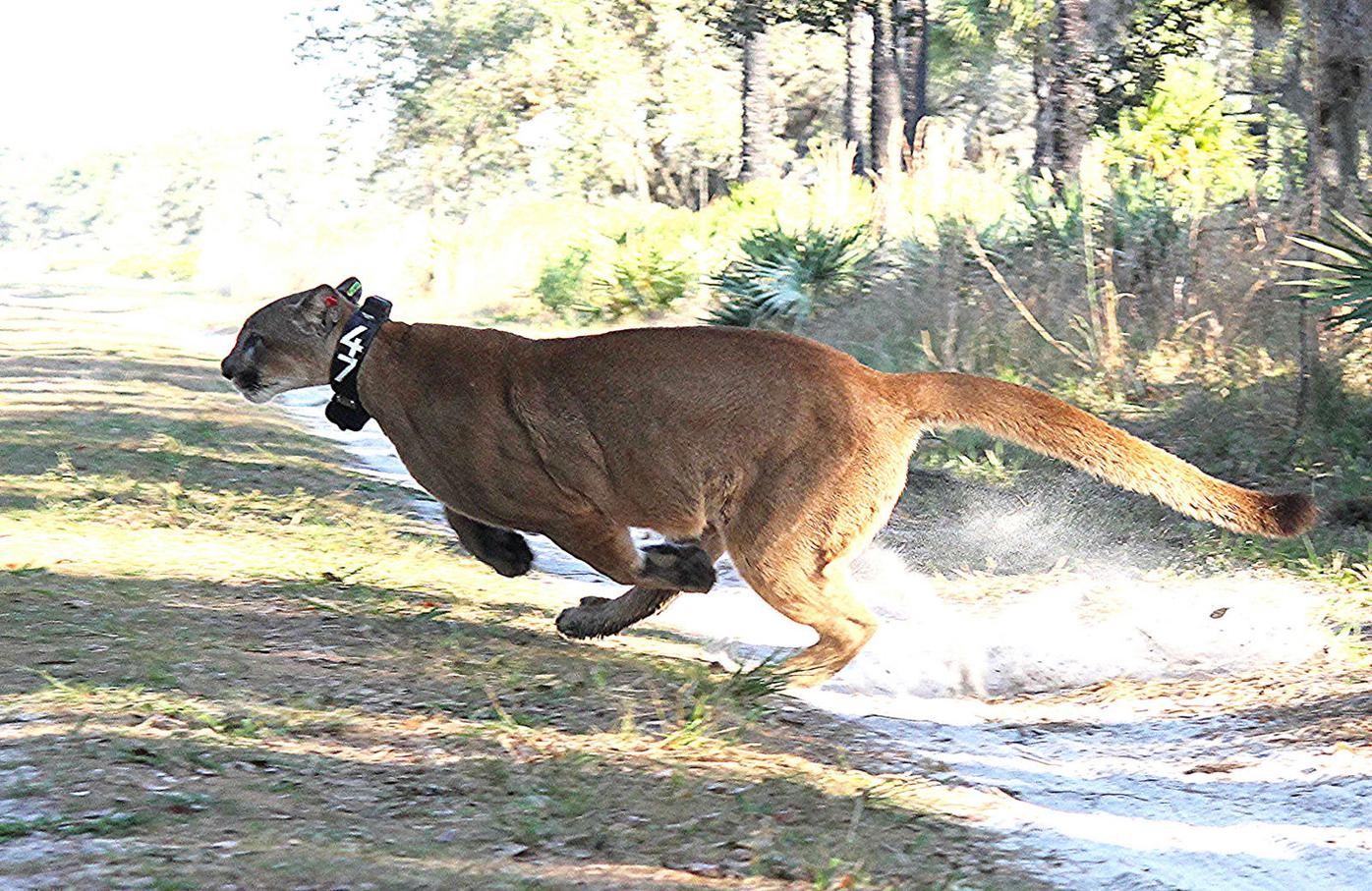 Panther released after car accident
