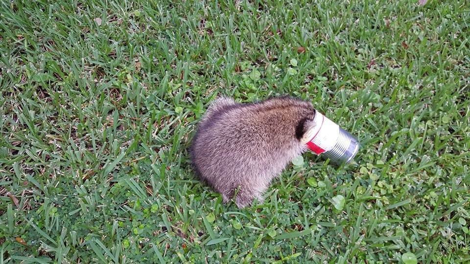 raccoon3.jpg