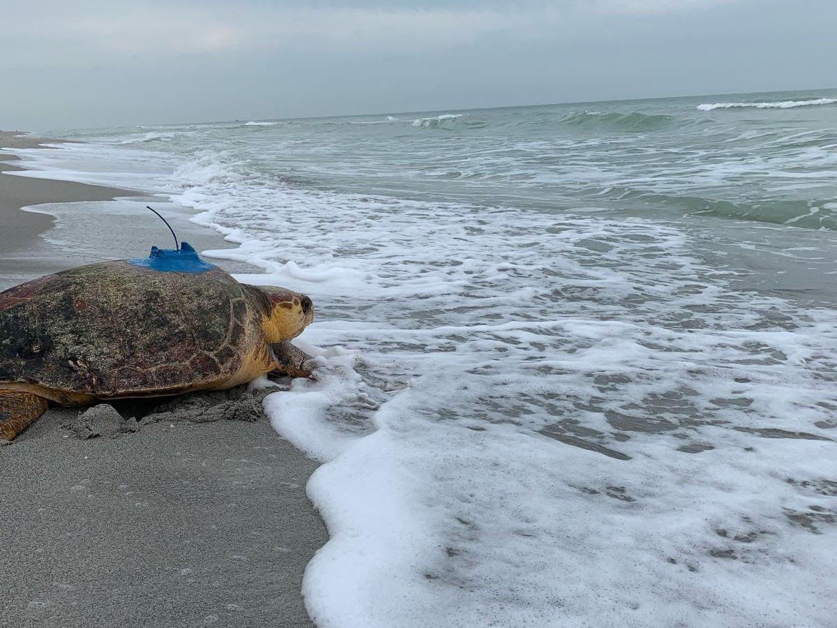 Rehabilitated sea turtle Connor