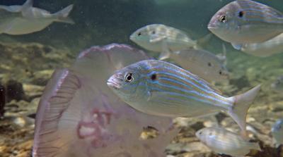 pinfish underwater