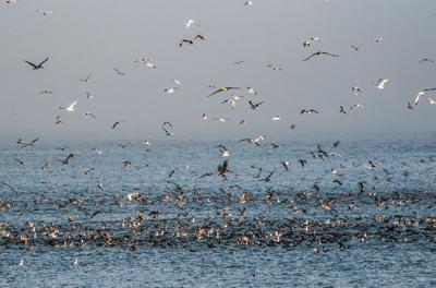 seabird frenzy