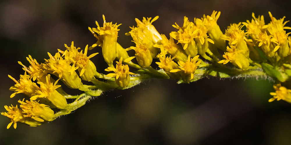 A closeup photo of the Pinebarren Goldenrod showing the individu