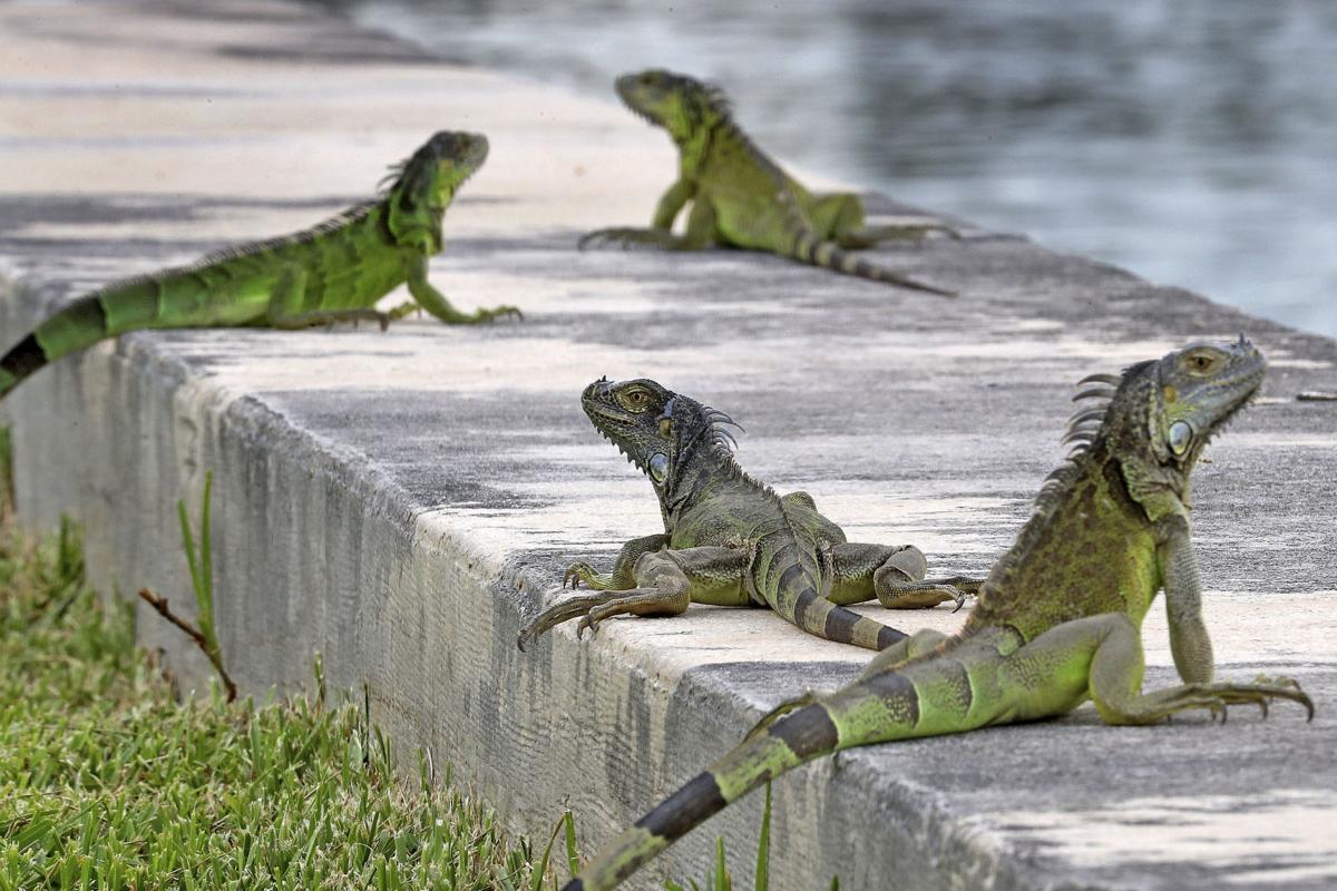 Killing Iguanas 1