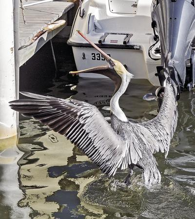 feeding pelican