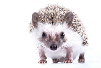 Pet hedgehogs linked to Salmonella outbreak