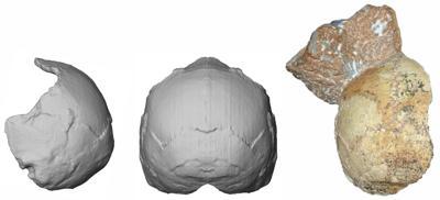 partial cranium fossil