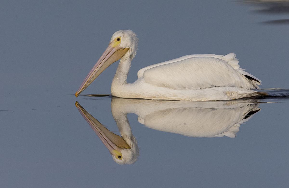 White Pelican reflection on Lemon Lake in Englewood