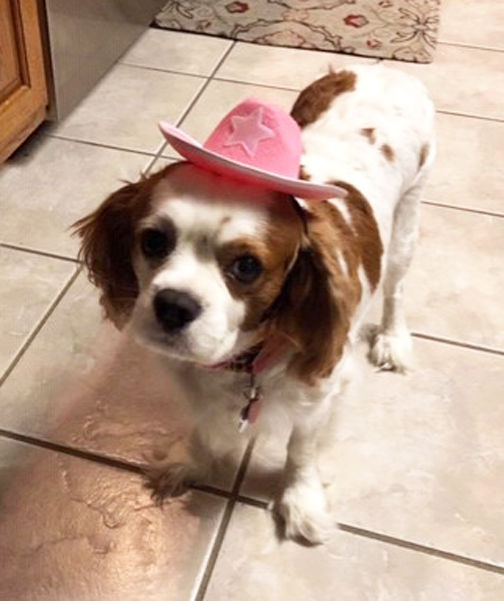 Image of: Airlines Maddi Cavalier King Charles Spaniel Is Owned By Dick And Lea Ann Perkins Esa Doctors Companion Fraudulent Service Dogs Highlands Newssun Yoursuncom