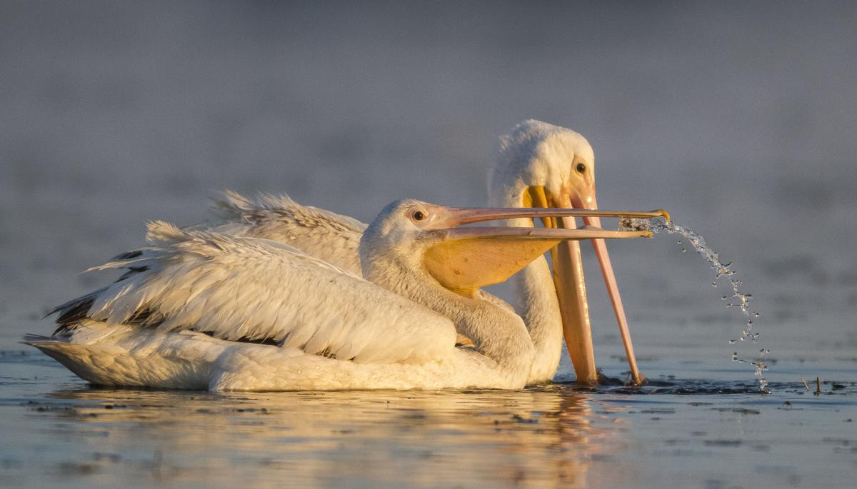 Two American White Pelicans scooping up food at Myakka River State Park.