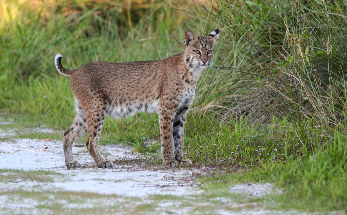 Why are panthers and bobcats struggling to walk? | Charlotte