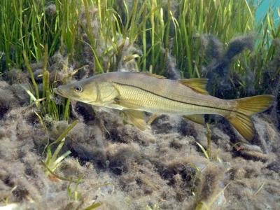 snook seagrass