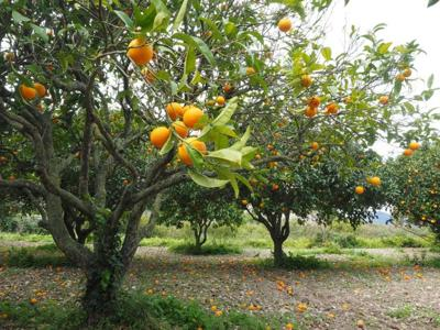 A healthy outlook for citrus