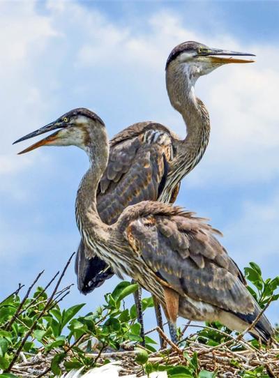 heron pair