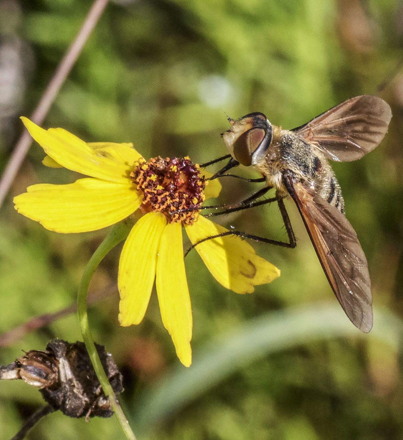 Bee Fly on Common Tickseed