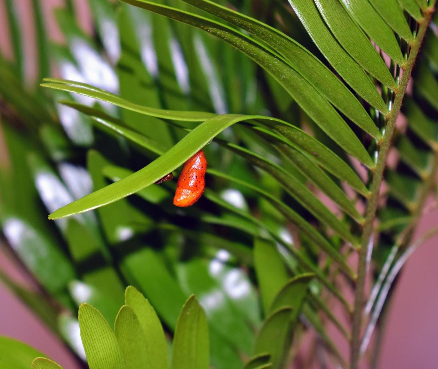 Atala chrysalis