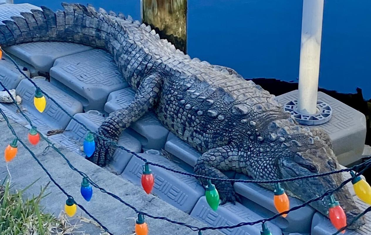Crocodile in Punta Gorda