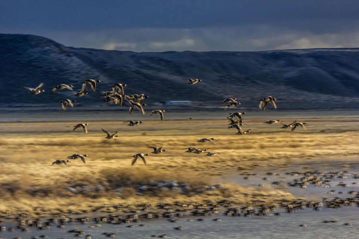 Northern pintails fly over Mud Lake