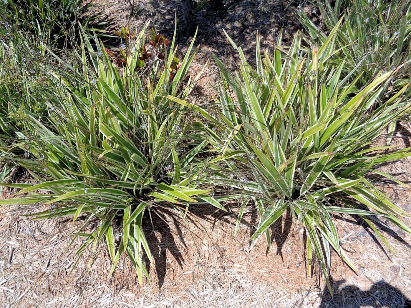 Flax lily variegata