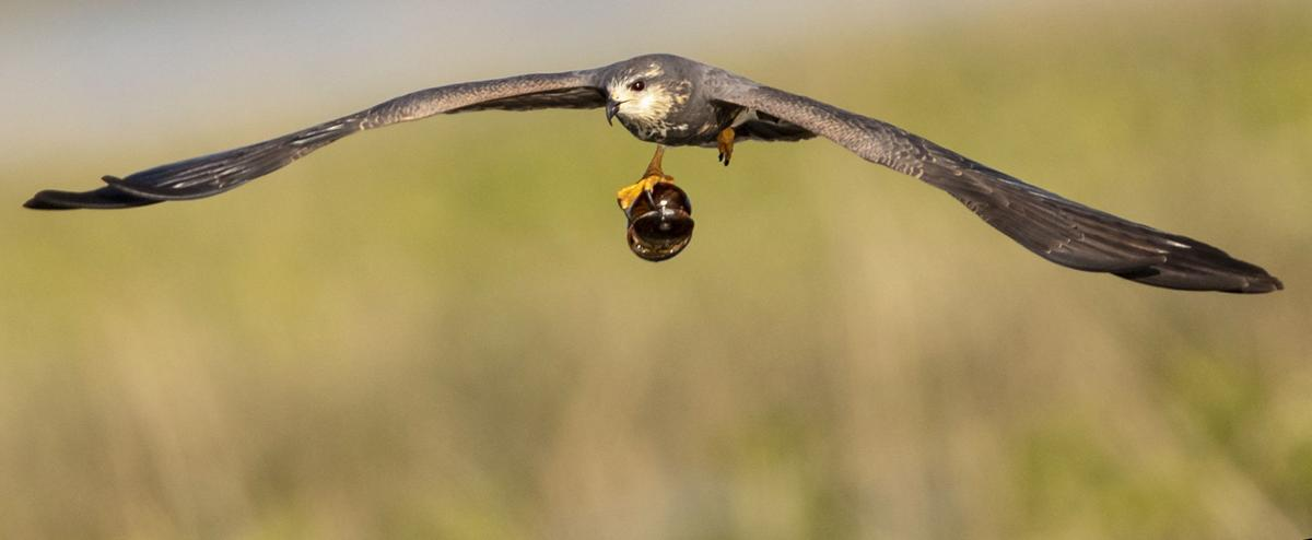 Snail Kite Flying with Huge Snail