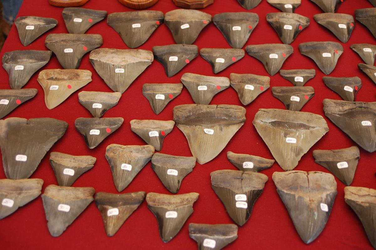 Shark teeth come in many sizes, shapes and shades